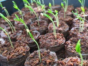 Peper kweken vensterbank zaailingen