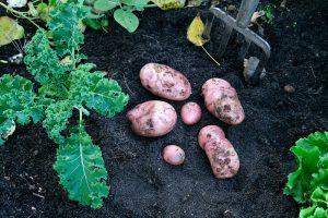 Aardappels kweken