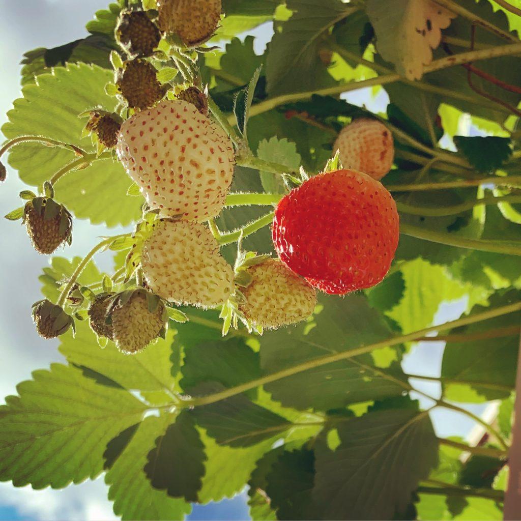 aardbeienstekjes