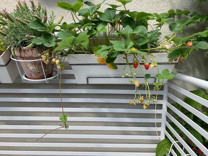 Foto van aardbeien plant met uitlopers. Het stekken ervan is een klusje voor de moestuin in juli.