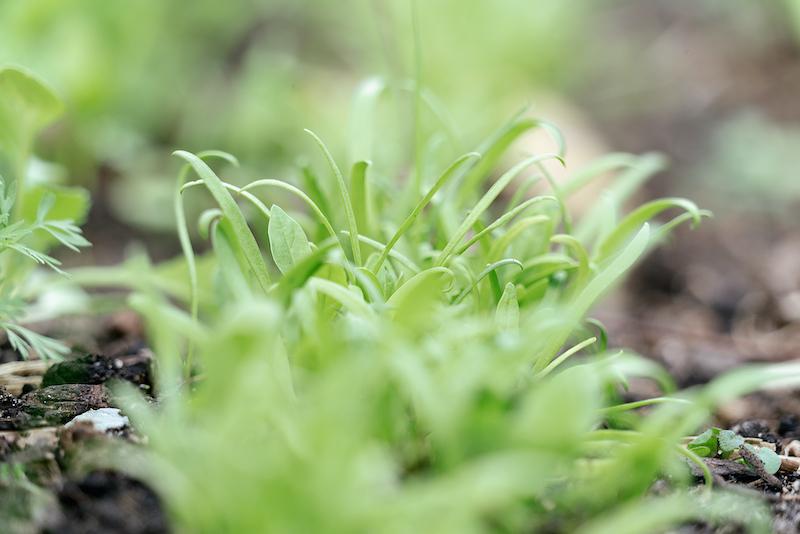 Zaaien in oktober: spinazie