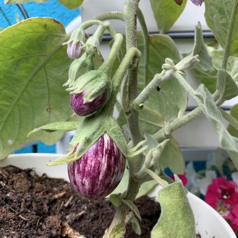 Aubergine plant kweken