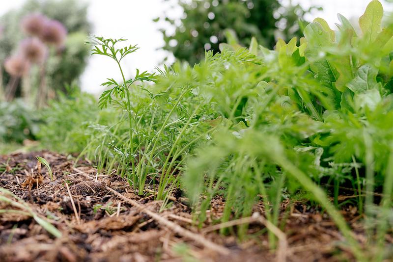 wortel kweken