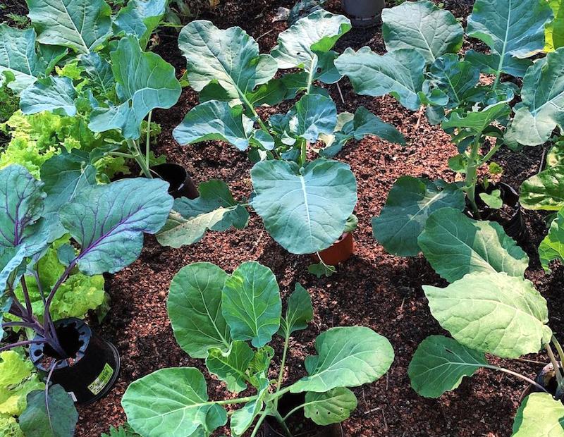 Boerenkool zaaien en beschermen door mulchen