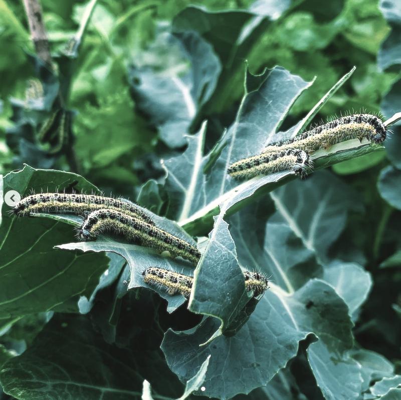 Rupsen op de broccoli in de moestuin